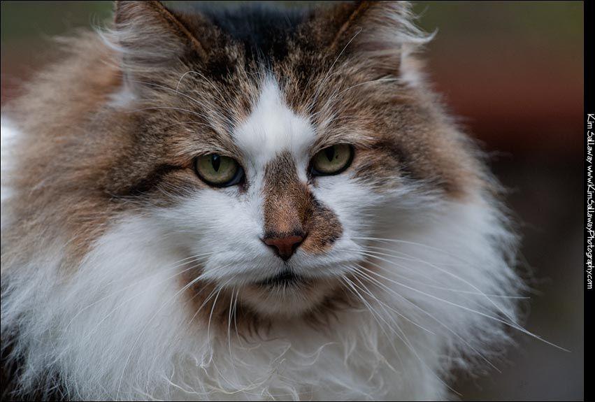 Norwegien Forest Cat Pets Cats Kim Sallway Photographer Humboldt County Norwegian Forest Cat Cat Portraits Crazy Cats