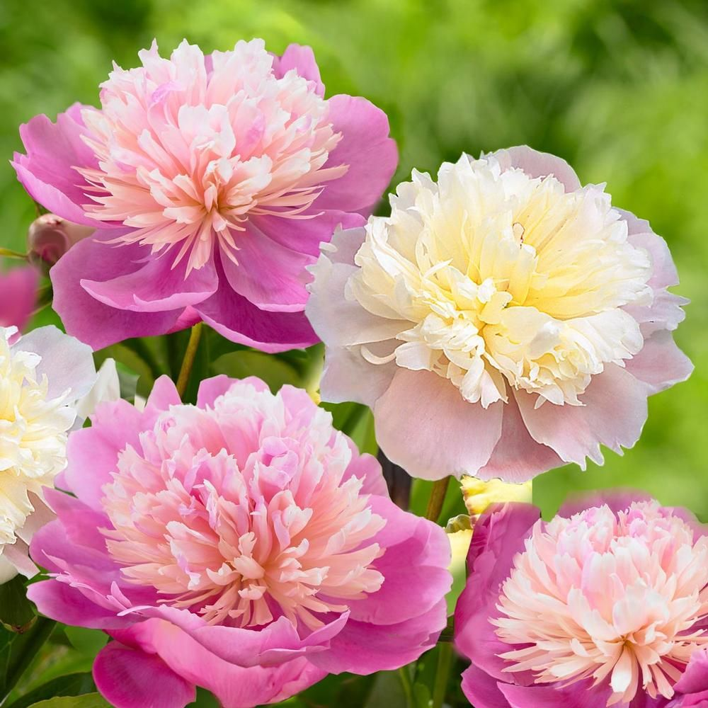 Sorbet Bareroot Peony Perennial Impressive Fall Planting Pink White Blossoms Top