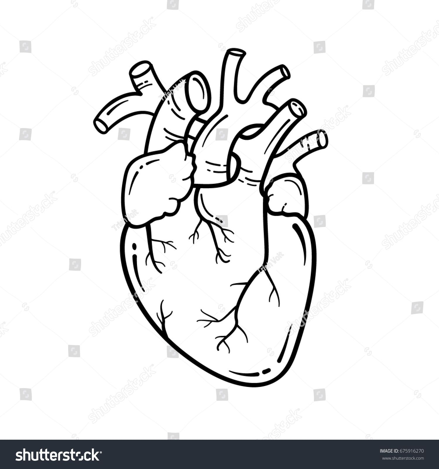 Anatomical heart line art illustration. Vector simple
