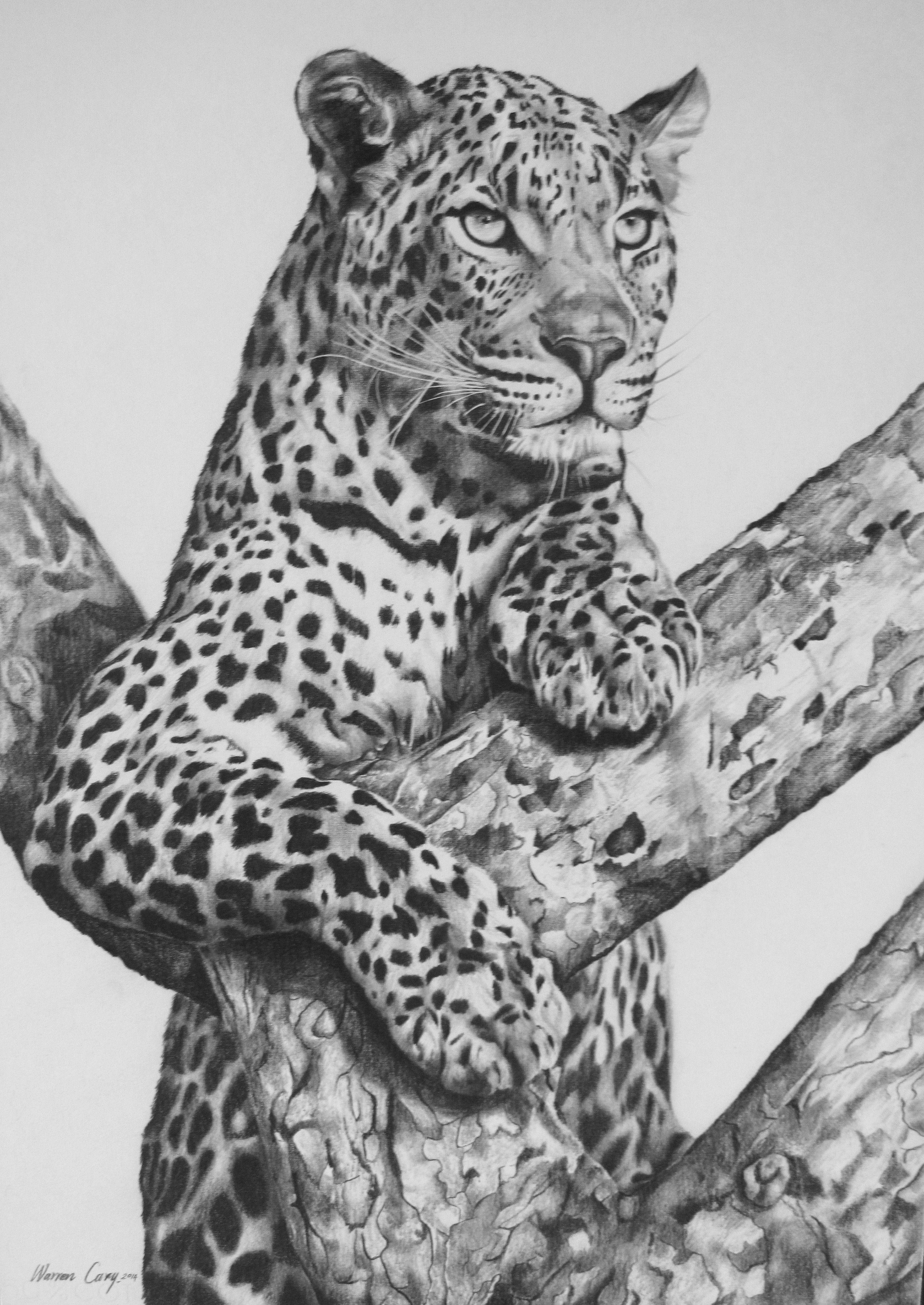 Adult Leopard In Tree.pencil Board. Warren Cary