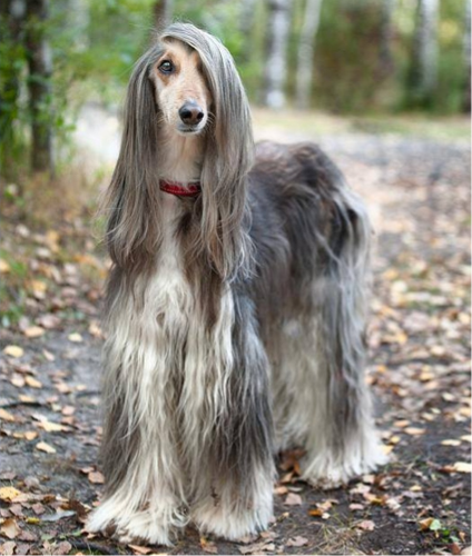 Magnificent Afghan Hound Beautiful Dogs Dog Breeds Dogs