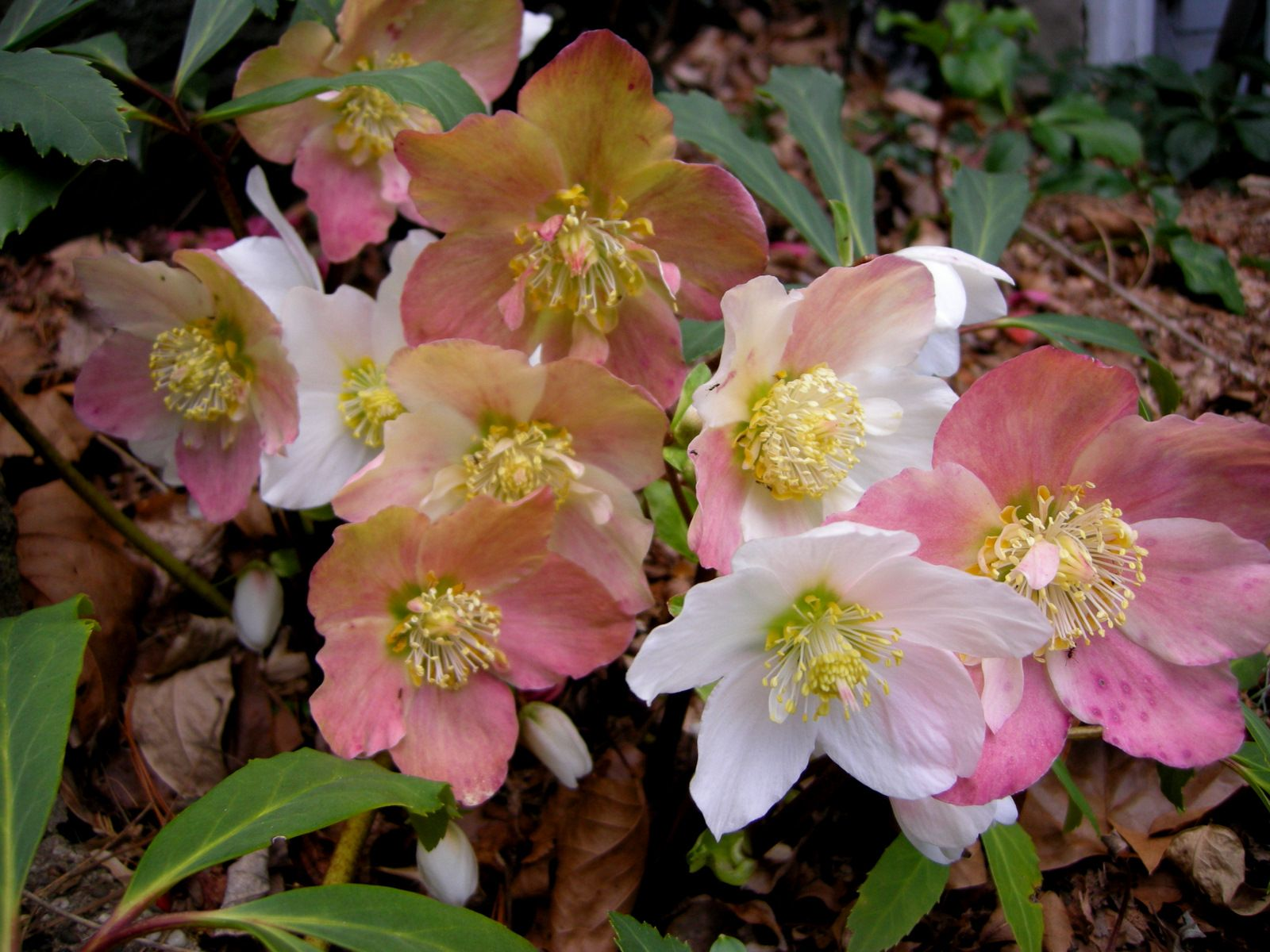 hellebore images starts blooming in the fall see hellebores for fall photo 1 1 12. Black Bedroom Furniture Sets. Home Design Ideas