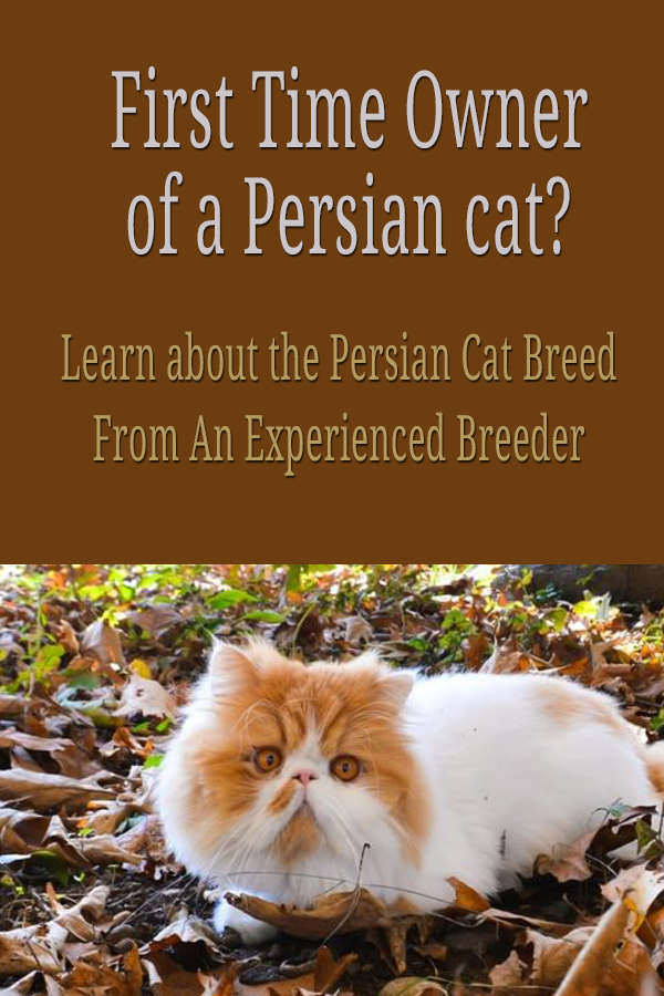 Persian cats personality, care and health problems