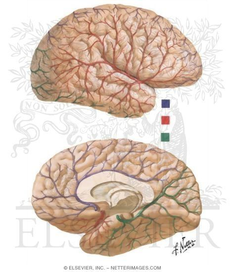 Netter Brain Pic Image Anatomy Illustration