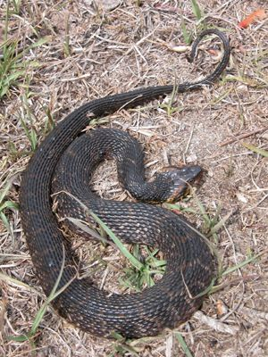 Harmless Watersnake Flattens Body Water Moccasin Snake Animals Of The World Snake