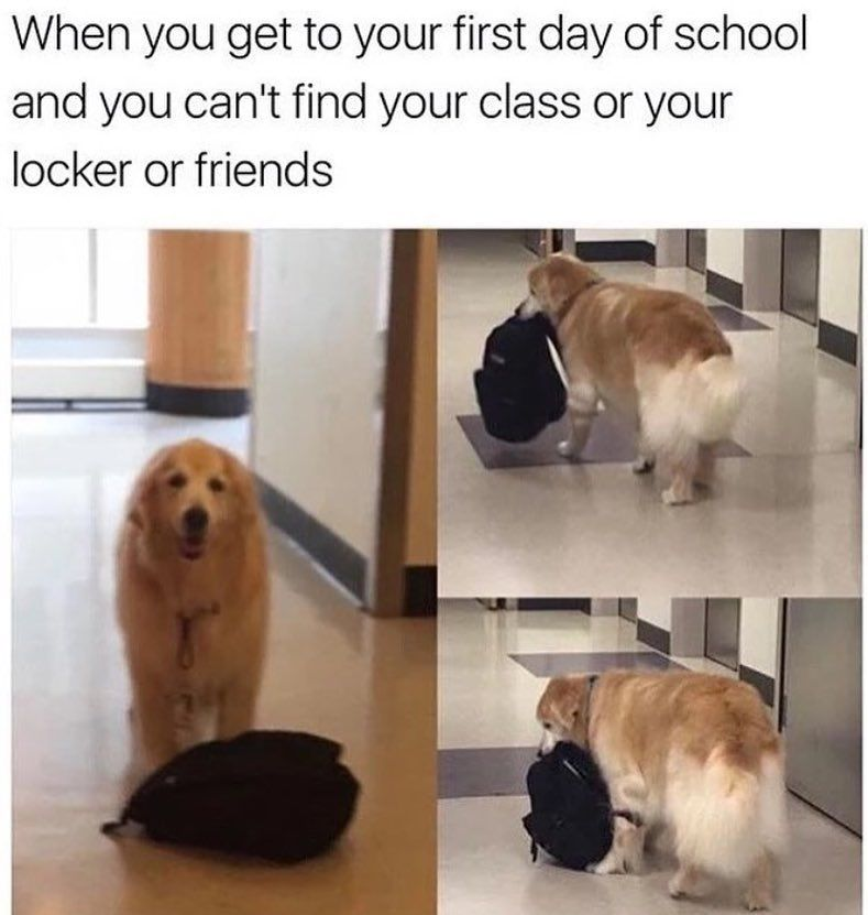 Forget this.  via @cabbagecatmemes  _______________ #goldenretriever #goldenretrieversofinstagram #doggo #retrieversofinstagram #smartdog #highschool #middleschool #lateforclass #dogsofig #dailyfloof