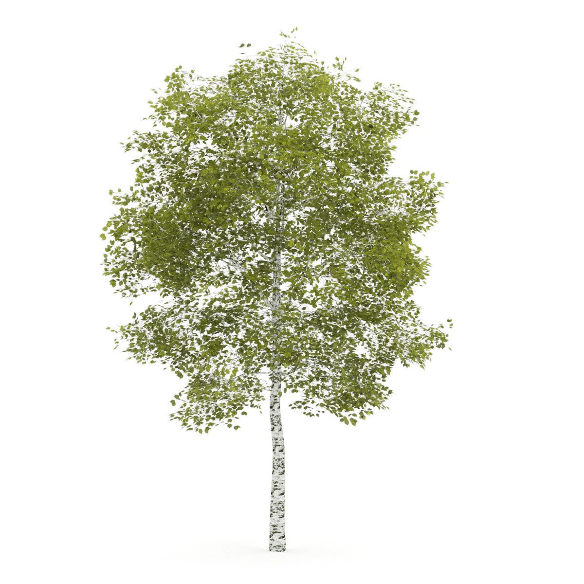 Birch Trees For Photoshop Free  Google Search Textures