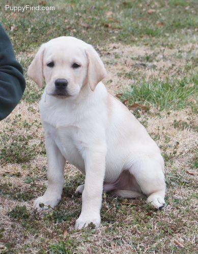 Yellow English Blockhead Lab Dog Love Dogs Furry Friend