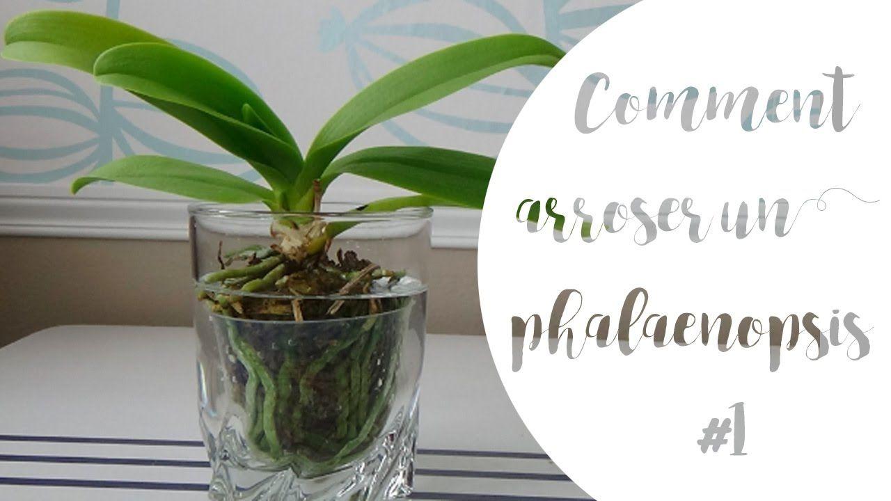 Comment Arroser Un Phalaenopsis Partie 1 Avec Images