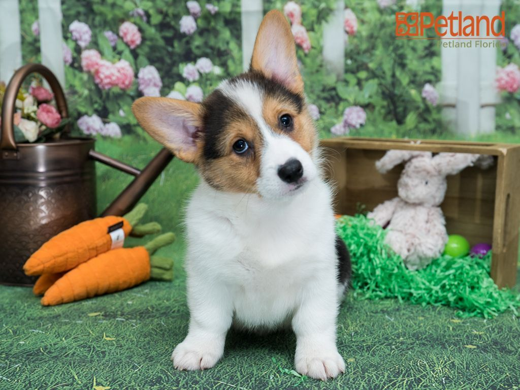 Puppies For Sale In 2020 Puppy Friends Corgi Puppies For Sale Puppies