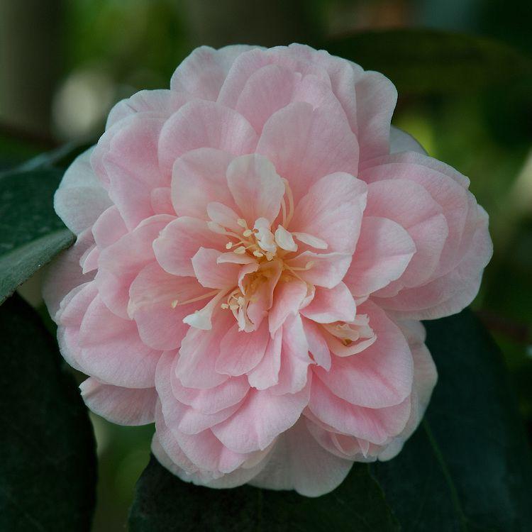 Camellia Japonica Incarnata Alan Buckingham Camellia Japonica Flowers