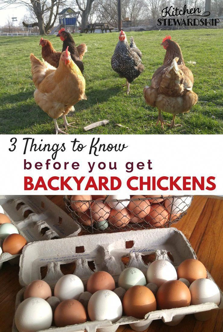 Guide and tips for getting backyard chickens from someone ...