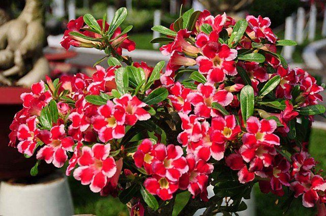 A hybrid Adenium [Desert Rose] with picotee-edged flowers -- [Picotee is a variety of flower whose edge is a different color than the flower's base color]