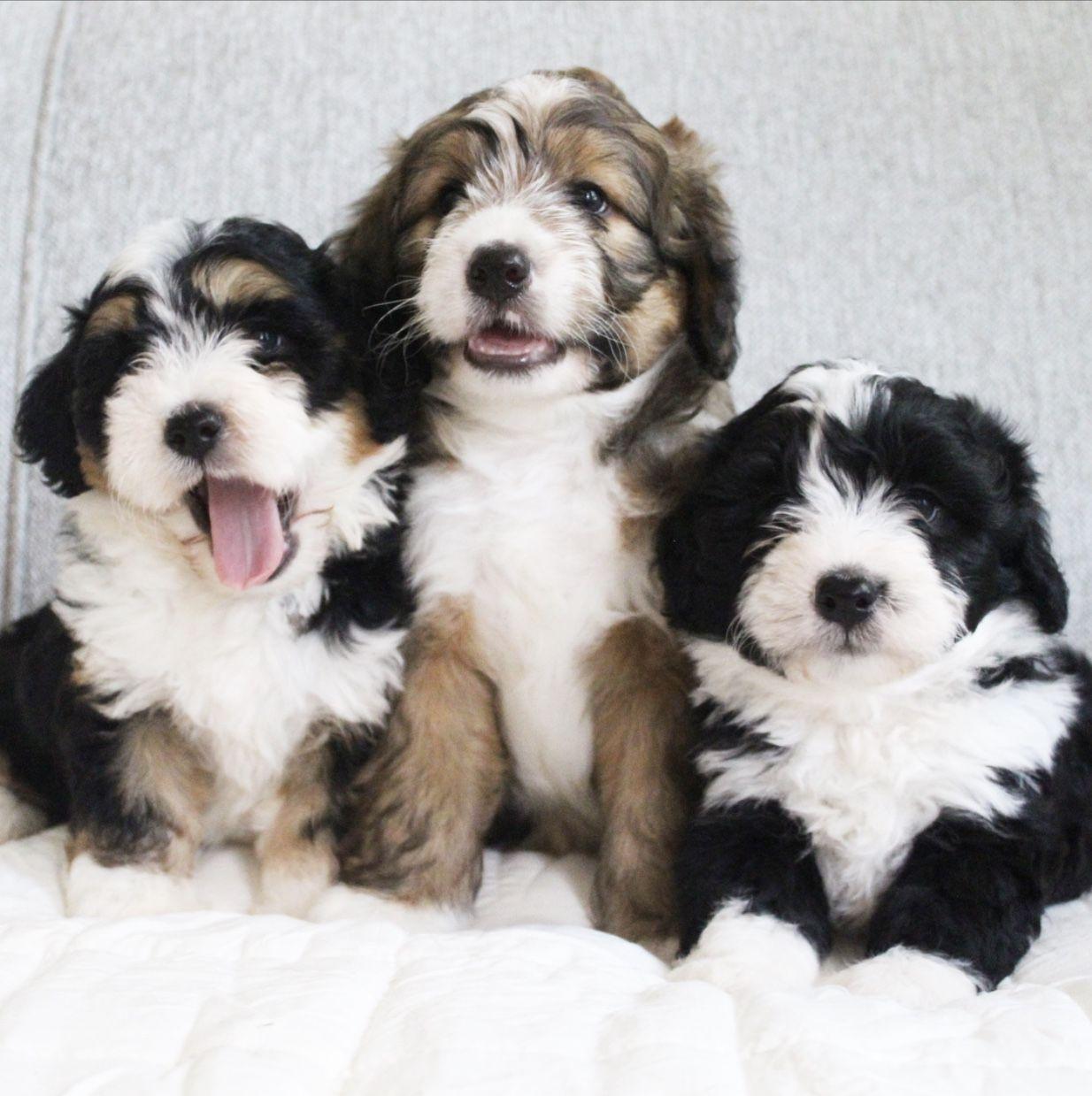 Golden Mountain Dog Puppies Texas 2021