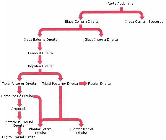Aula de Anatomia - Sistema Cardiovascular - Sistema Arterial ...