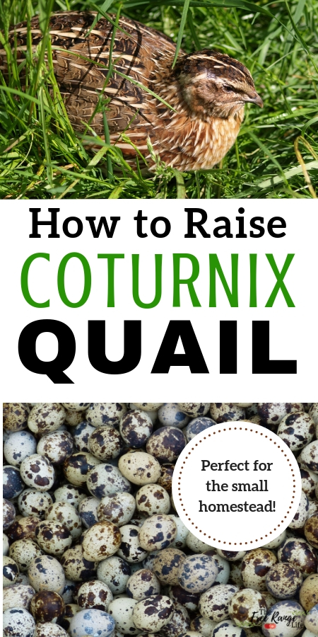 How to Raise Coturnix Quail on Your Small Homestead in ...