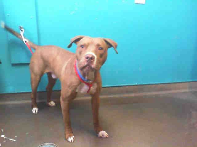 American Pit Bull Terrier Dog For Adoption In Las Vegas Nv Adn