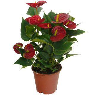 Anturio De Flores Rojas Maceta D 12 Cm Anthurium Planta De - Plantas-interior-con-flor