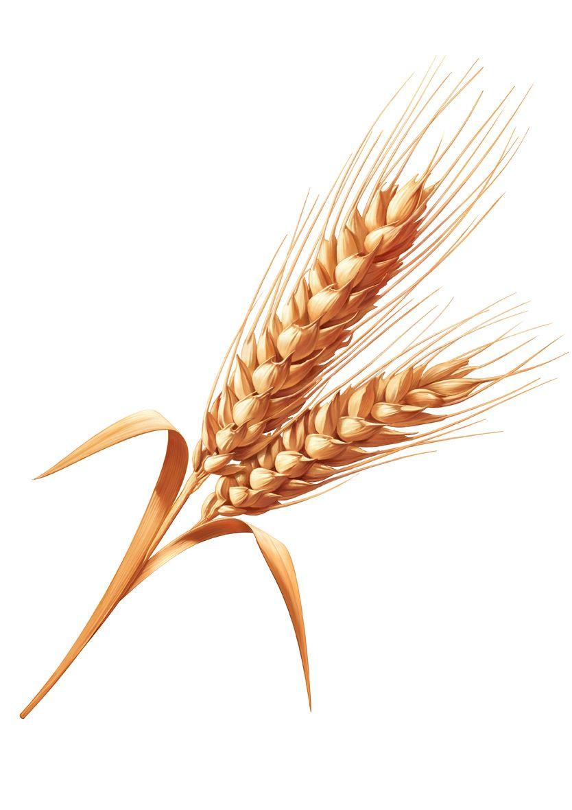 Single Clipart Wheat Stalk Clip Art Free Clip Art Art
