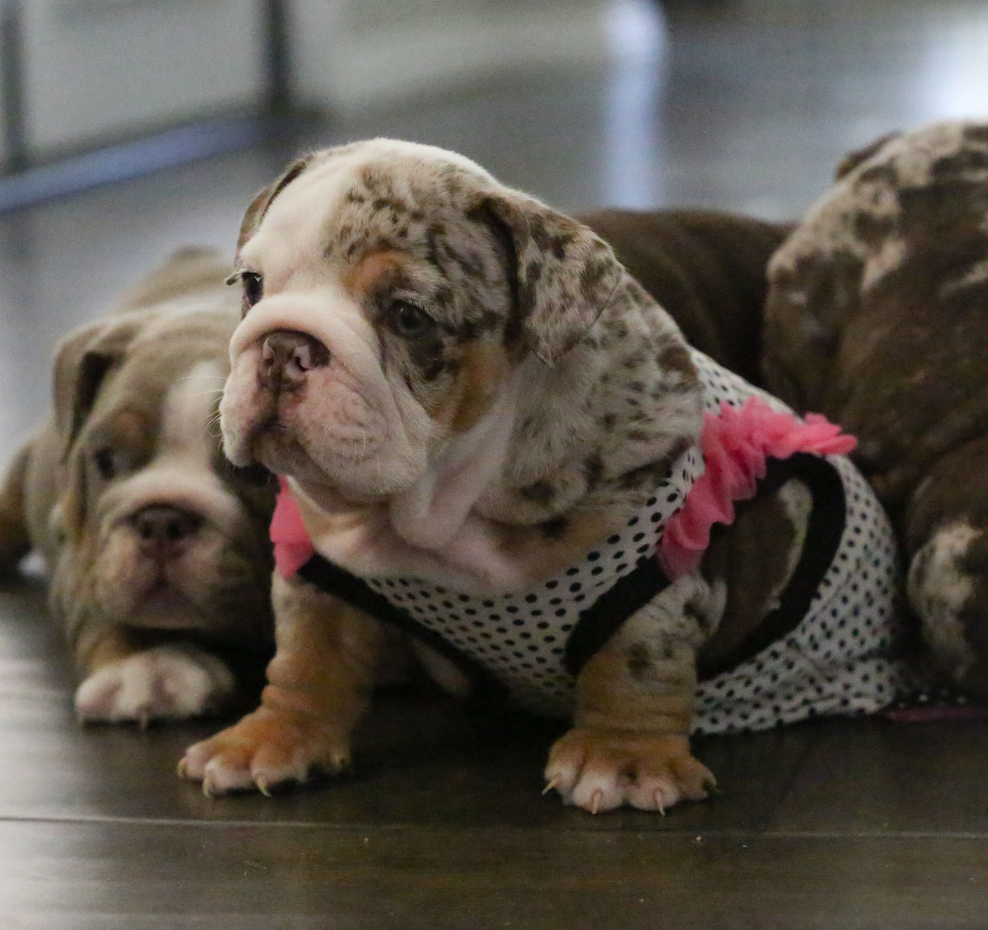 English Bulldog Puppies Image By Ben Schutt On Babcock Bulldogs