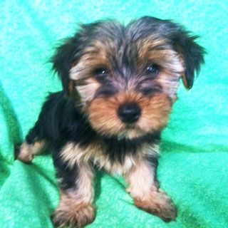 Prettiest Puppies Austin And Central Texas Yorkie Puppies For Adoption Or Sale Yorkie Puppies For Adoption Morkie Puppies For Sale Morkie Puppies
