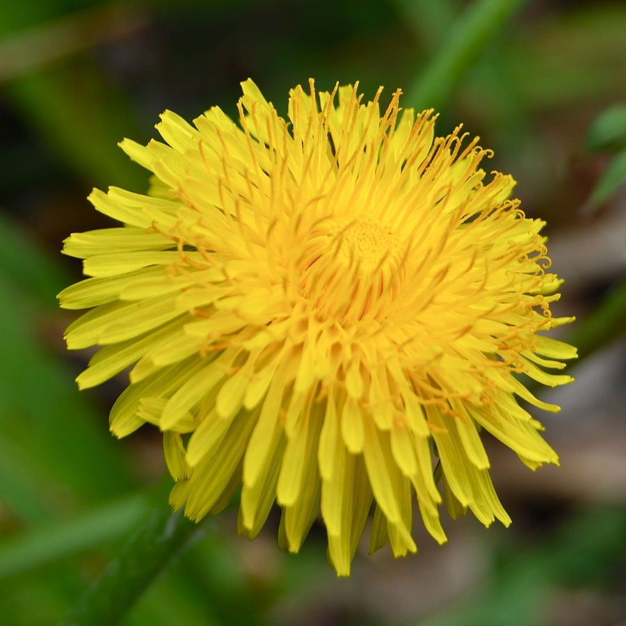 Home Made Wine Adventures With Dandelions Fruit And Yeast Wild Edibles Edible Plants Edible Wild Plants