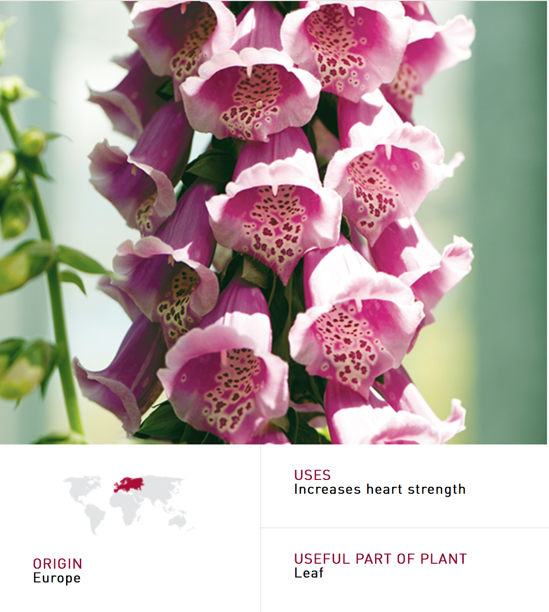 Foxglove digitalis purpurea is poisonous it was first used as a