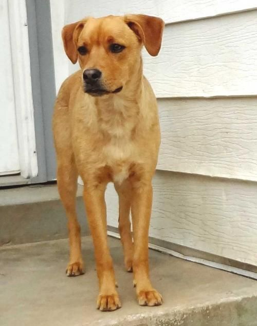 Meet Chico A Petfinder Adoptable Labrador Retriever Dog Sussex Nj Chico Is A Young Mixed Breed About Labrador Retriever Dog Labrador Retriever Hound Dog