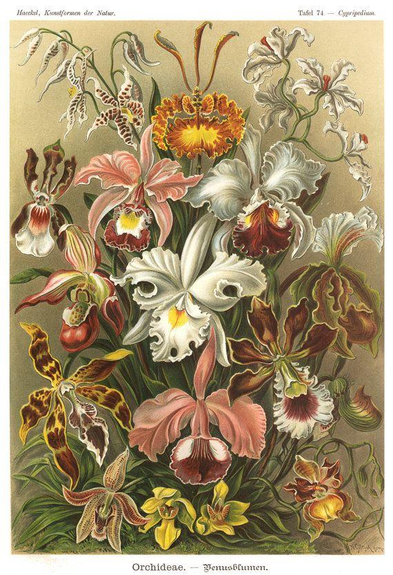 Ernst Haeckel Botanical Illustration, Orchids Print, Flowers Print ...