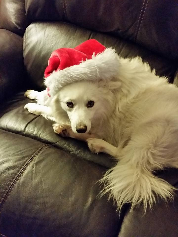 American Eskimo Dog dog for Adoption in St. Bonifacius, MN. ADN-412742 on PuppyFinder.com Gender: Male. Age: Young