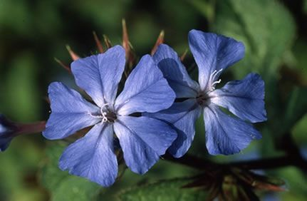 Cerato Flower Remedy Bach Flower Remedies Bach Flowers