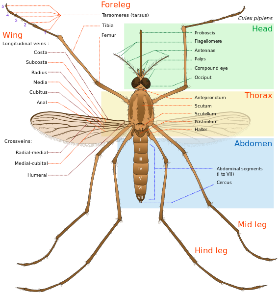 File Culex Pipiens Diagram En Svg Wikimedia Commons Mosquito Thorax Pictures Of Insects