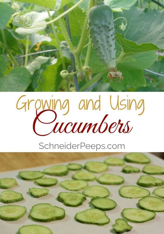 Growing And Using Cucumbers Container Gardening