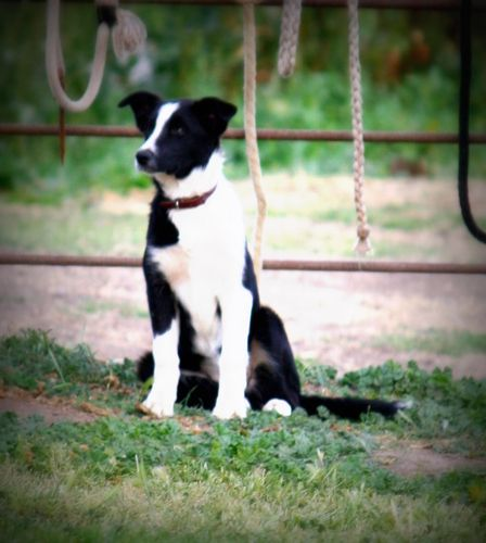 Full Blooded Mcnab Female For Sale Out Of Working Stock For