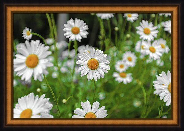 #AnnaMatveeva #Photographers #FineArtAmerica #ForSale #PrintsForSale #FineArtPrints #ArtHome #Artdecor #Decor #Homedecor #Beautiful #CanvasPrint #WoodPrints #MetalPrint #FogFramedPrint #Daisies #Chamomiles #Flowers      http://anna-matveeva.pixels.com/