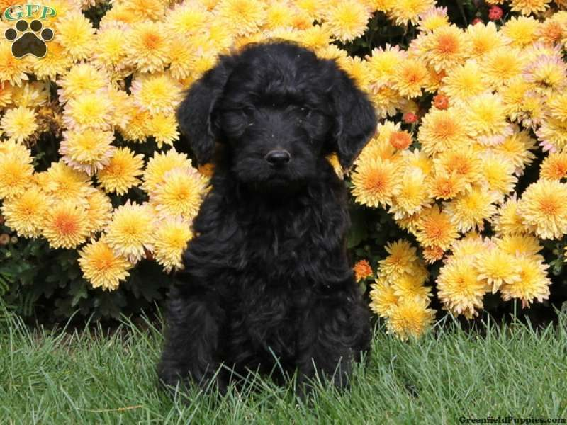 Laura, an adorable Labradoodle puppy for sale in