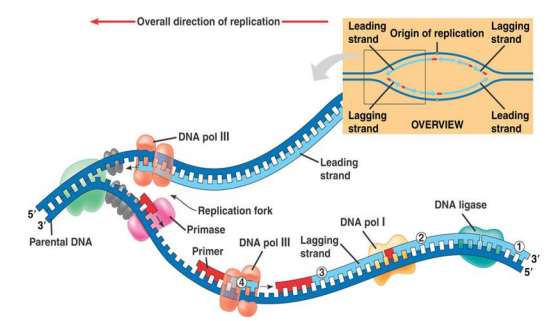 dna synthesis Google Search Dna replication, Science