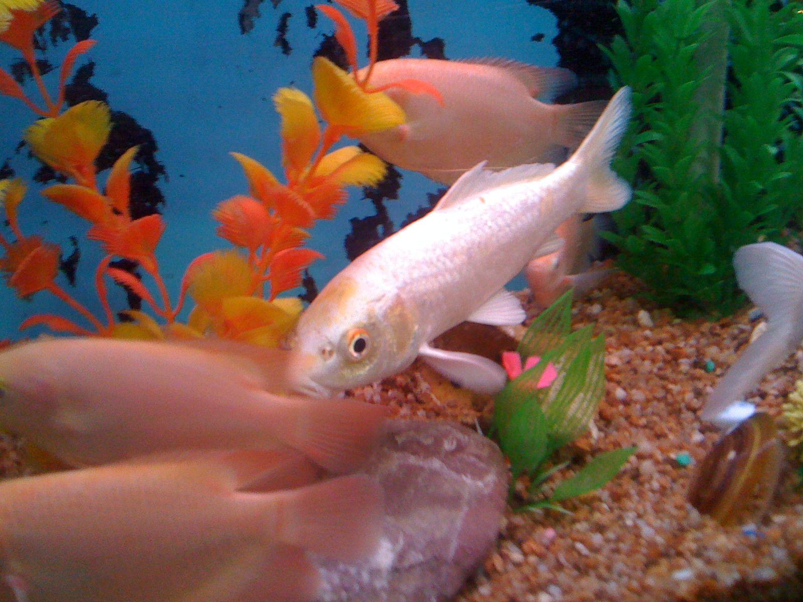 Koi Fish dac193ad060