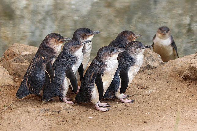 「kangaroo island penguin」的圖片搜尋結果