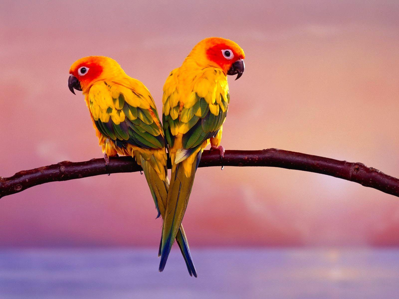 Beautiful Hd Wallpapers Wallpaper For Desktop Beautiful Bird Wallpaper Pet Birds Conure Parrots