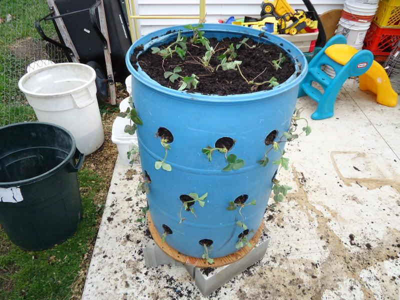 Attractive Strawberry Plants In Barrels Last For 3 5 Years. Cover In Winter With Straw  And Wrap With Chicken Wire! | Gardening | Pinterest | Strawberry Planters,  ...