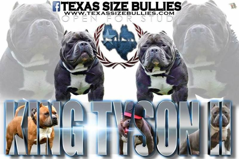 Best Extreme Build Standard American Bully Stud King Tyson Ii