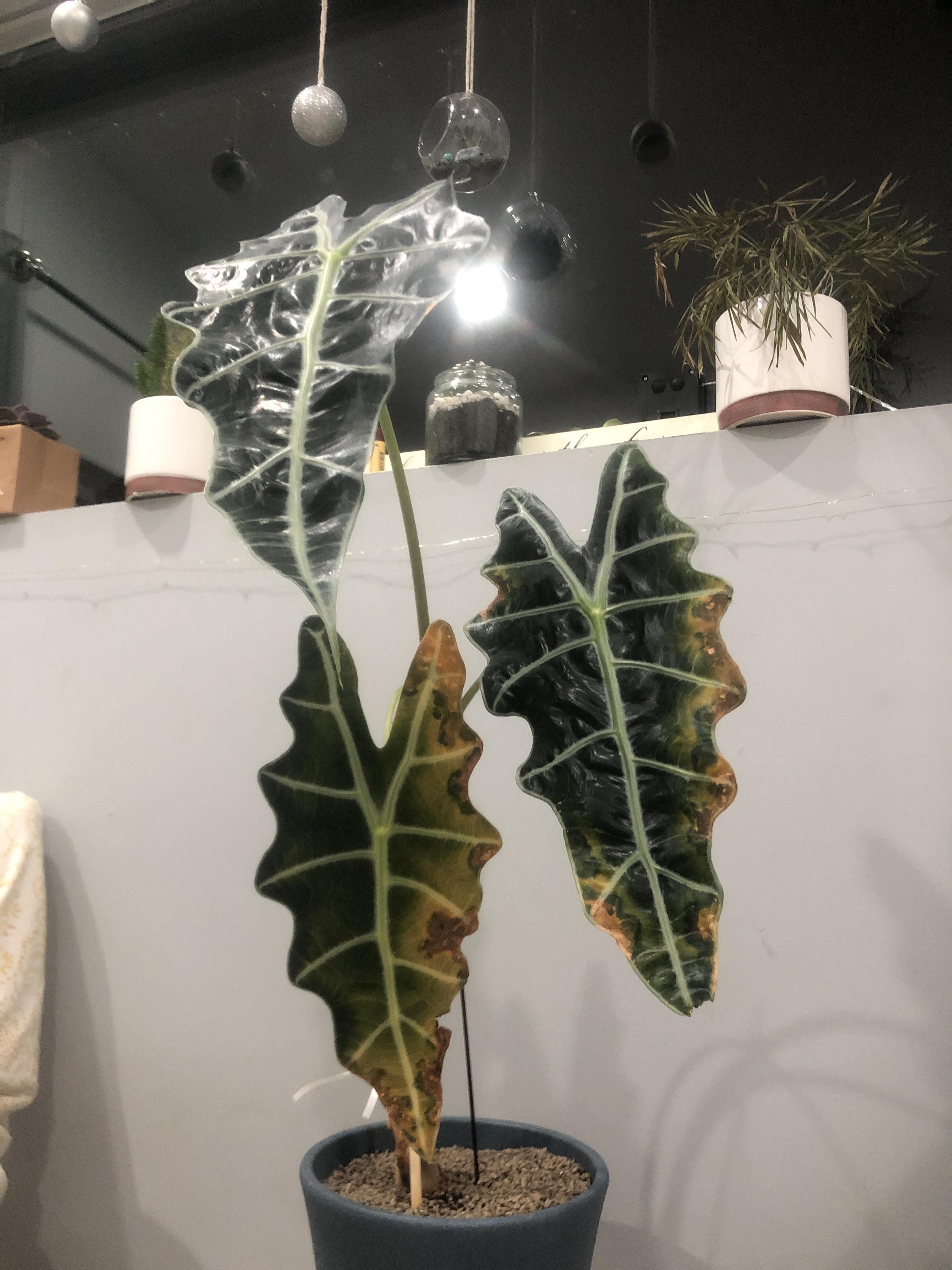 The Leaves On My Precious Alocasia Plant Are Turning Yellow And Brown Please Help Me I Love Thi Alocasia Plant Plant Leaves Turning Yellow Plant Leaves Turning