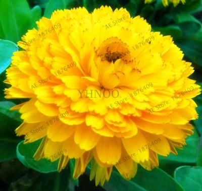 Calendula Officinalis Flower Seeds 100pcs Yellow Marigold Flower In