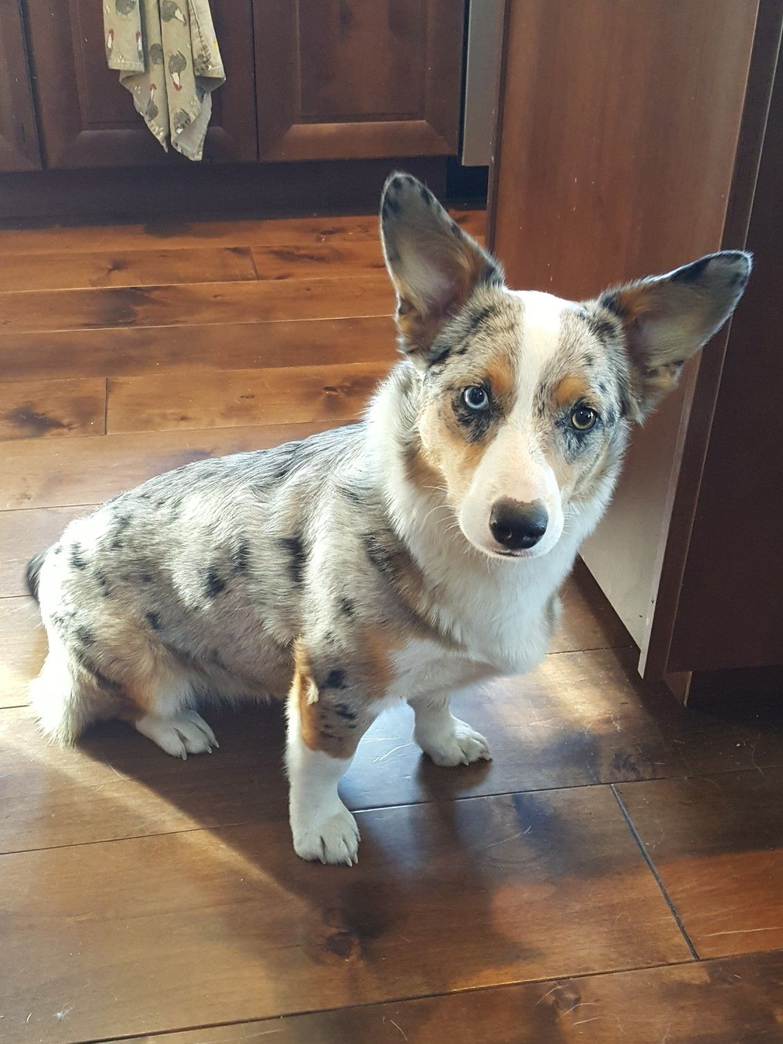 Year Old Aussie Corgi Mix Cutest Puppy Ever Corgi Corgi Mix