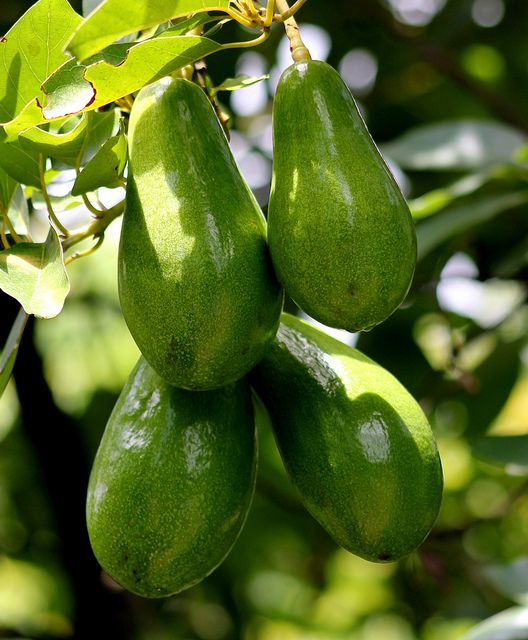 Wilson Popenoe Avocado Trees Persea Americana Produce Very Large Often Misshapen Fruit Of Exceptionally High Quality The Text Avocado Tree Avocado Fruit