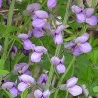 Purple Smoke False Indigo | NatureHills.com