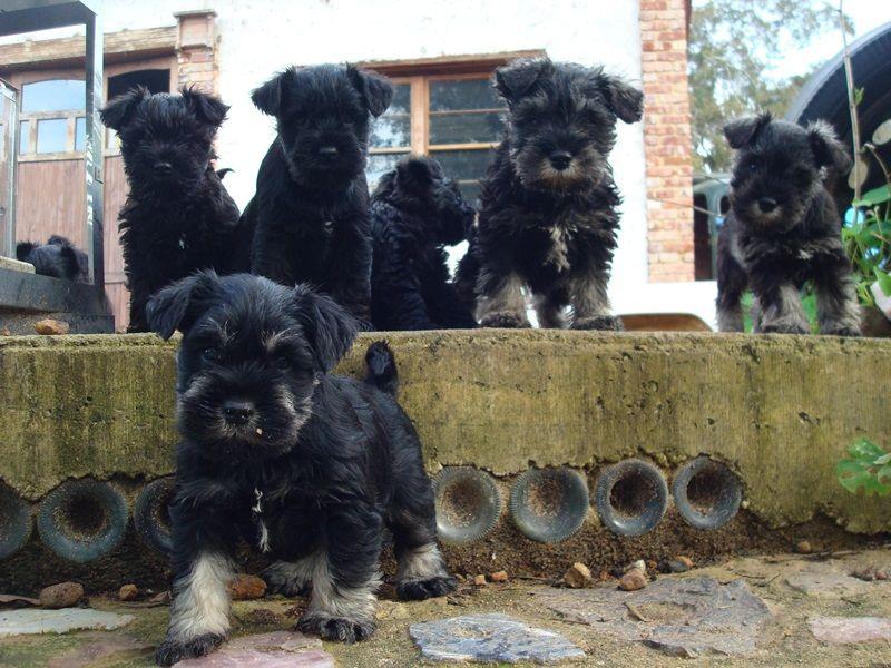 Miniature Schnauzer Puppies Miniature Schnauzer Puppies Schnauzer Puppy Schnauzer