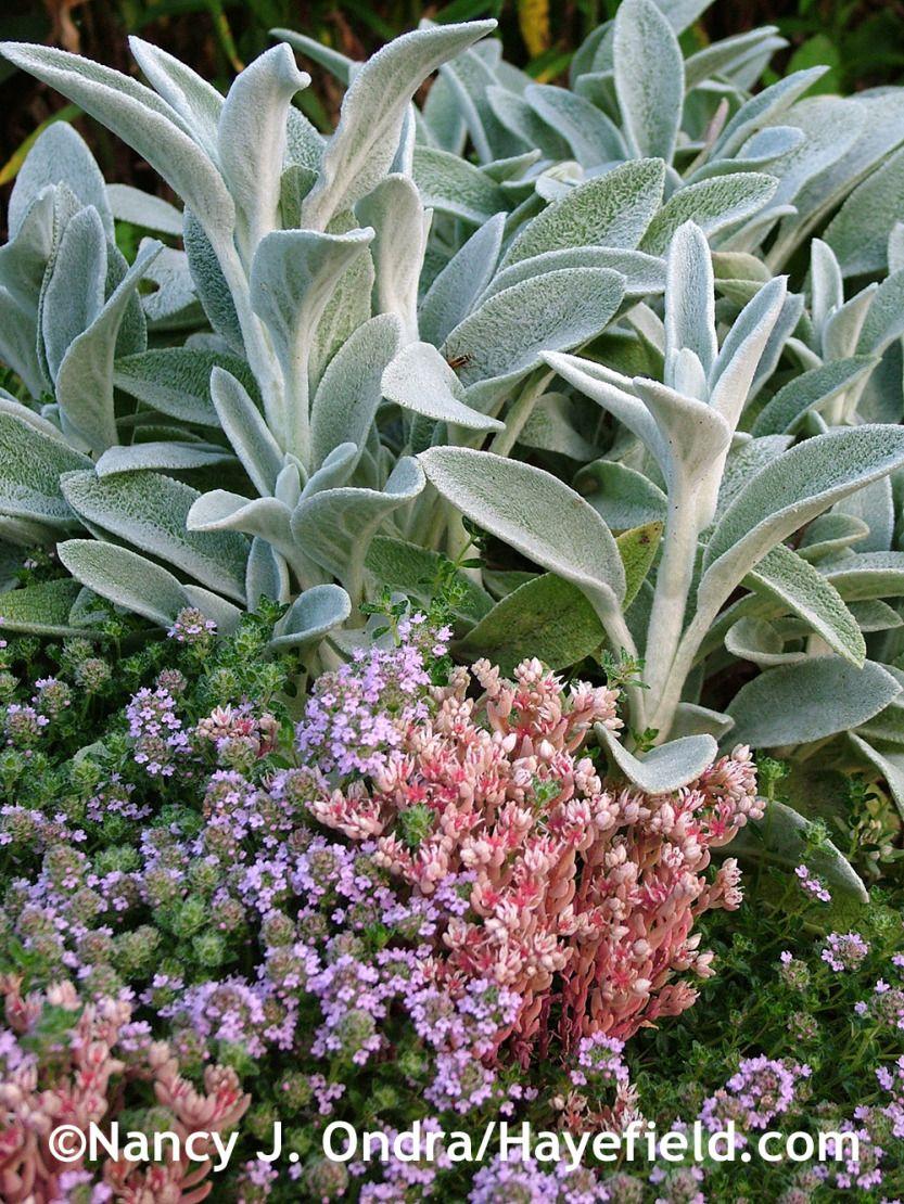 Purplish Pink Creeping Thyme Thymus Praecox Coccineus Group With