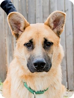 Pictures Of Noah A German Shepherd Dog Golden Retriever Mix For